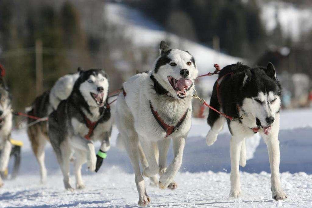 Собака сибирская хаски: описание породы, фото, характер, отзывы зверушки,живность,питомцы,Животные