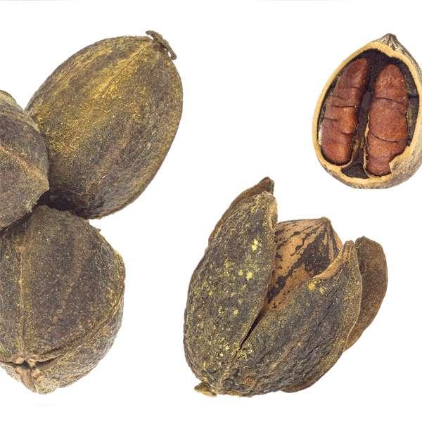 Орех пекан: где растет в России? Особенности выращивания ореха в России, Подмосковье и других климатических условиях Сад и огород