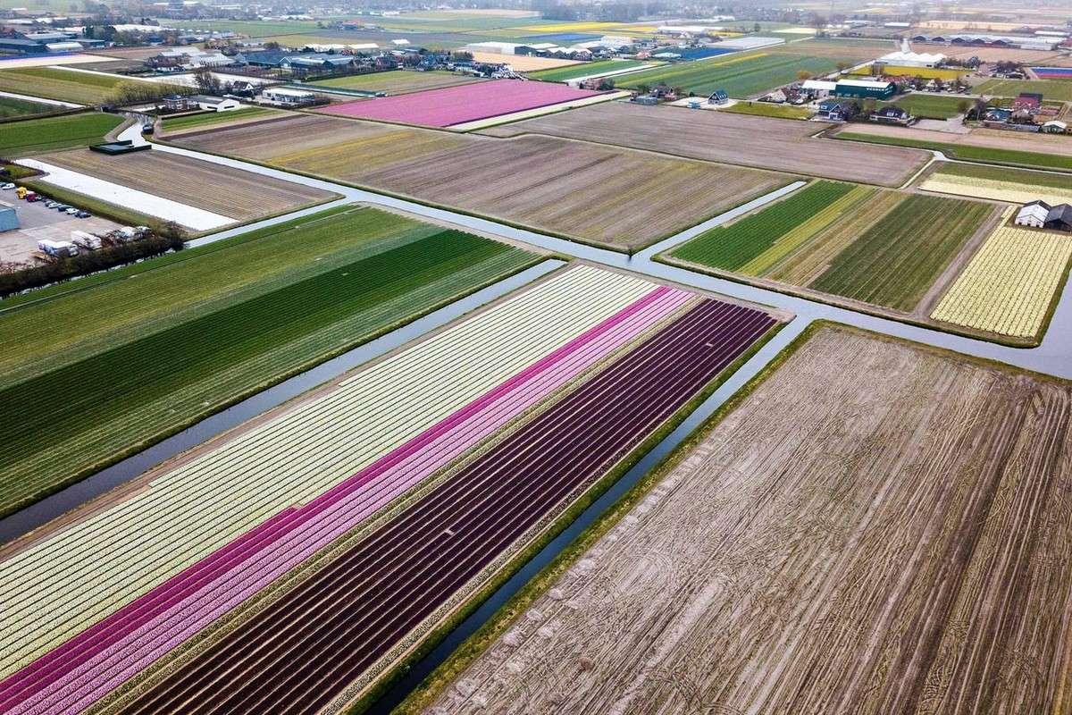Поля цветущих тюльпанов в Нидерландах МиР