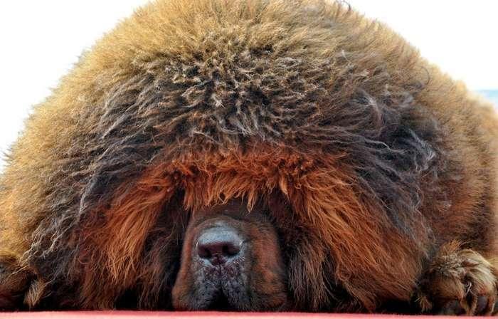 20+фотографий тибетских мастифов, изкоторых понятно, почему это самая дорогая собака вмире Интересное