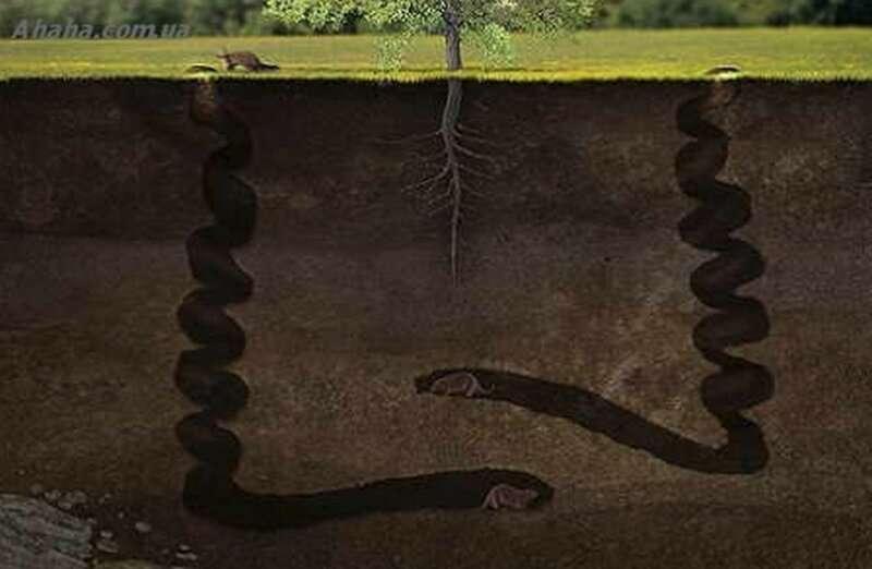 Штопор дьявола - что это такое и причем тут бобры природа